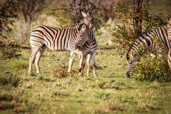 2 зебры скрепляя в Etosha Стоковая Фотография