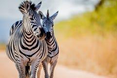 2 зебры скрепляя в Kruger Стоковое Фото