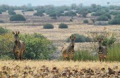 3 зебры смотря меня Стоковая Фотография RF