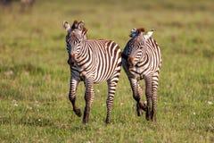 2 зебры создают совершенные симметрию и сработанность пока играющ, головы совместно Стоковые Фото