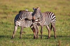 2 зебры создают совершенные симметрию и сработанность пока играющ, головы совместно Стоковое Изображение