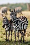 2 зебры создают совершенные симметрию и сработанность пока играющ, головы совместно Стоковые Изображения