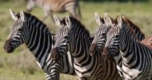 3 зебры стоят совместно Кения Танзания Национальный парк serengeti Maasai Mara Стоковое Изображение RF