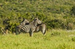 Зебры стоя в длинной зеленой траве Стоковое Изображение
