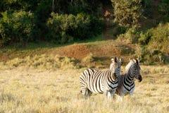 2 зебры стоя в поле в Addo Стоковое Фото