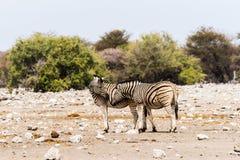 2 зебры стоя в саванне Стоковые Изображения
