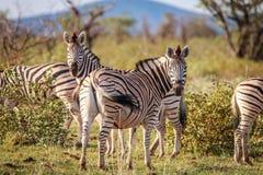 Зебры стоя в траве и играть главные роли Стоковые Фото