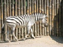 Зебры стоя в фото зоопарка сафари Стоковые Фото