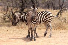 2 зебры стоя в T-форме Стоковое Изображение