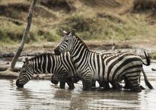 Зебры стоя и выпивая в реке, Serengeti, Танзании Стоковое Изображение RF