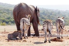 Зебры стоя и ждать на запруде Стоковое фото RF