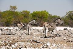 2 зебры стоя на сильнопересеченной местности в Etosha Стоковые Фотографии RF