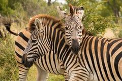 2 зебры стоя при их пересеченные шеи Стоковые Фотографии RF