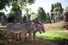 3 зебры стоя совместно Стоковое фото RF
