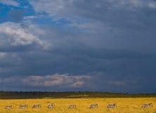 Зебры следовать одином другого в саванне Кения Танзания Национальный парк serengeti Maasai Mara Стоковое фото RF
