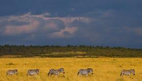 Зебры следовать одином другого в саванне Кения Танзания Национальный парк serengeti Maasai Mara Стоковая Фотография