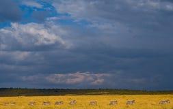 Зебры следовать одином другого в саванне Кения Танзания Национальный парк serengeti Maasai Mara Стоковые Изображения RF