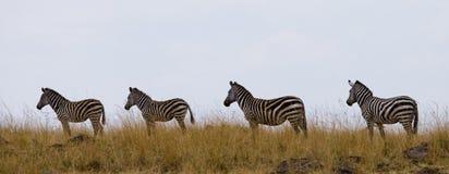Зебры следовать одином другого в саванне Кения Танзания Национальный парк serengeti Maasai Mara Стоковые Фотографии RF