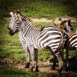 Зебры с птицами дальше подпирают для взаимной выгоды Стоковое фото RF
