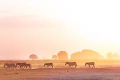 Зебры табунят идти на саванну на заходе солнца, Африку Стоковые Фото