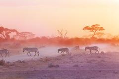 Зебры табунят на пылевоздушной саванне на заходе солнца, Африке Стоковое Изображение RF