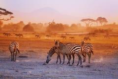Зебры табунят на саванне на заходе солнца, Amboseli, Африке Стоковое Фото