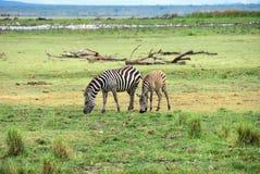 Зебры, Танзания, Африка Стоковые Фотографии RF
