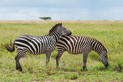 2 зебры, Танзания, Африка Стоковое фото RF