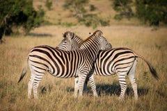 2 зебры, Южная Африка Стоковое Фото