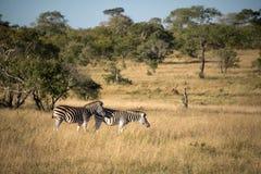 Зебры, Южная Африка Стоковая Фотография RF