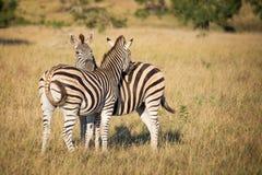2 зебры, Южная Африка Стоковые Фото