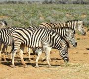 Зебры Южной Африки пася Стоковое Фото