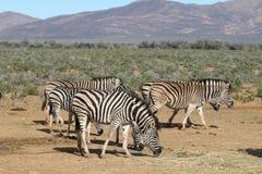 Зебры Южной Африки пася Стоковая Фотография