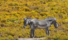 зебры Стоковые Фотографии RF
