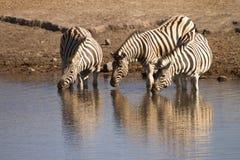 зебры Стоковая Фотография