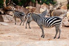 Зебры Стоковые Фото