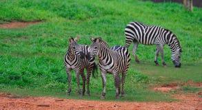 Зебры Стоковое фото RF