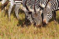 3 зебры Стоковое Фото