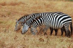 3 зебры Стоковые Фотографии RF