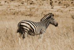 Зебры Стоковое Фото
