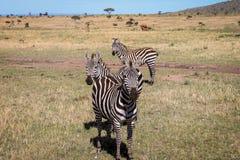 3 зебры Стоковая Фотография