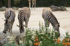 3 зебры Стоковое фото RF