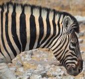 Зебры Стоковое Изображение RF