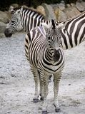 Зебры Стоковые Изображения RF