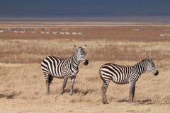 Зебры! Стоковые Фотографии RF