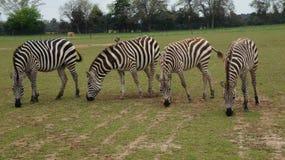 4 зебры Стоковое фото RF