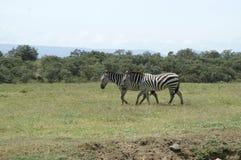 2 зебры Стоковое Изображение