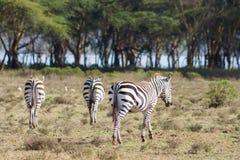 Зебры Стоковое Изображение