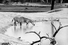 Зебры B&W водой в национальном парке Tarangire, Танзании Стоковое Изображение RF