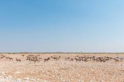 Зебры Burchells, зебры горы Hartmann и сернобык Стоковое Фото
